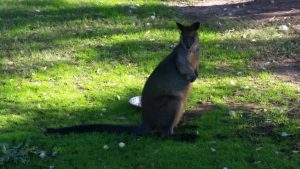 Central Gardens Merrylands Wallaby