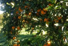 Pick your own oranges schofields orange orchard