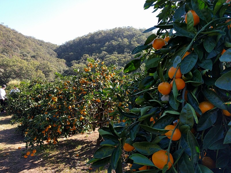Ford's Farm Pick Your Own Mandarin