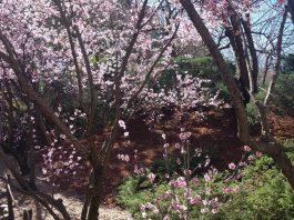 cherry blossoms spring auburn botanic gardens