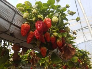 Pick Your Own Strawberries | Thirlmere @ Berrylicious Strawberries | Thirlmere | New South Wales | Australia
