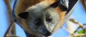 Bat Night | Parramatta Park @ Parramatta Park | Parramatta | New South Wales | Australia