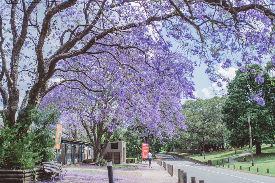 Parramatta Park Jacaranda Tree Purple