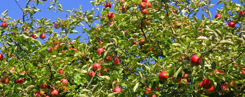 Apples TNT Produce