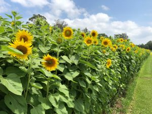 Central Coast Sunflower Harvest | Wyong @ Yarramalong Turf Supplies | Wyong Creek | New South Wales | Australia