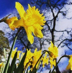 Daffodil Festival | Blue Mountains Botanic Garden @ Blue Mountains Botanic Garden | Mount Tomah | New South Wales | Australia