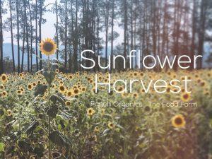 Sunflower Harvest + Mini Farmers Market | Central Coast @ 10 Pembertons Hill Rd, Mangrove Mountain NSW 2250 | Mangrove Mountain | New South Wales | Australia
