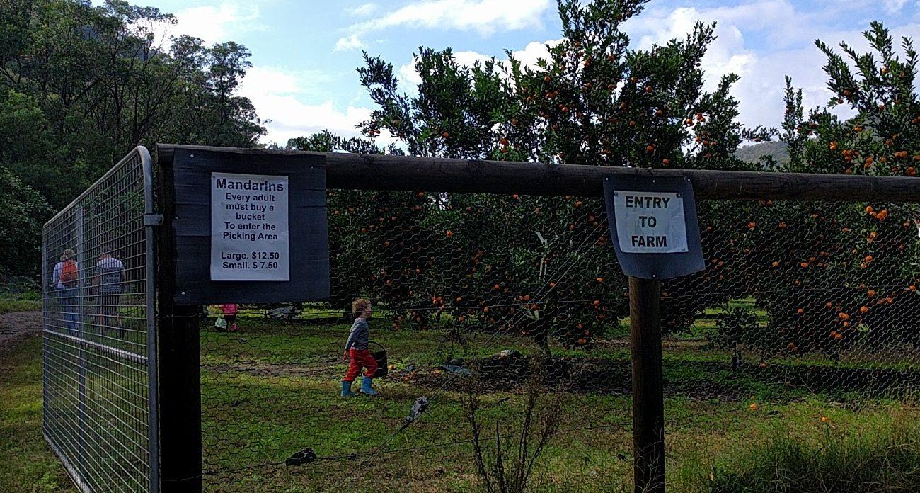 Pick Your Own Mandarins Watkins Family Farm