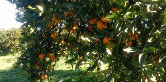 Pick your own oranges schofields orange orchard