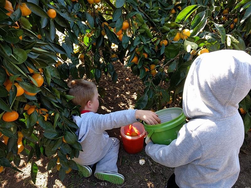 Ford's Farm Pick Your Own Mandarin