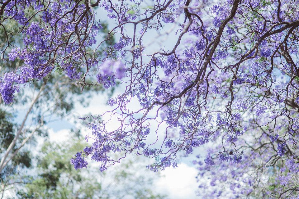 Parramatta Park Jacaranda Tree Purple