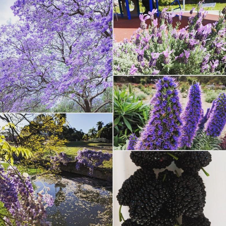 Jacaranda Tree Purple