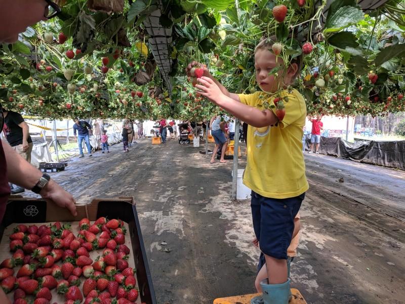 Berrylicious Strawberries Thirlmere strawberry picking near Sydney
