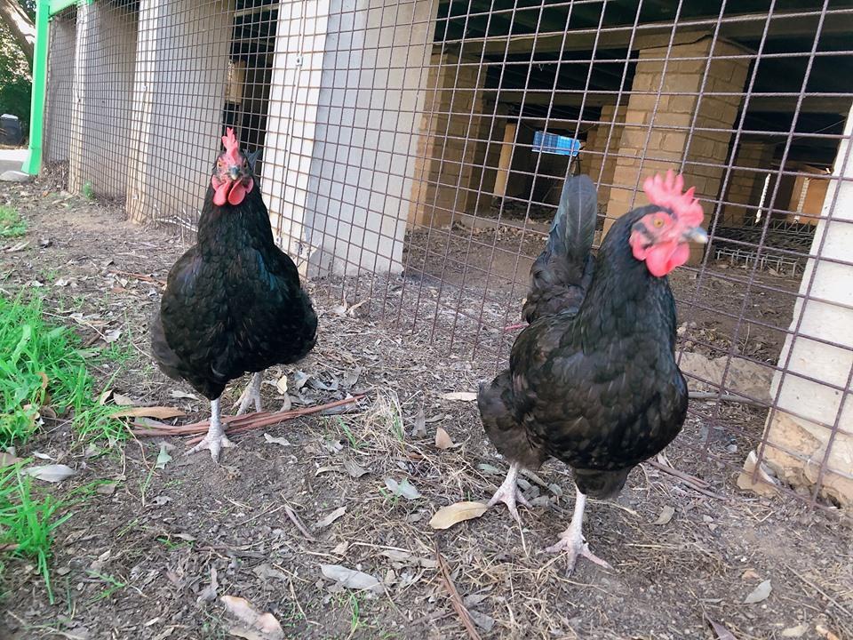 Rydalmere Public School Chickens