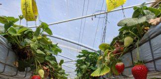 Berrylicious Strawberries Thirlmere