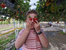 Berrylicious Strawberries Strawberry picking